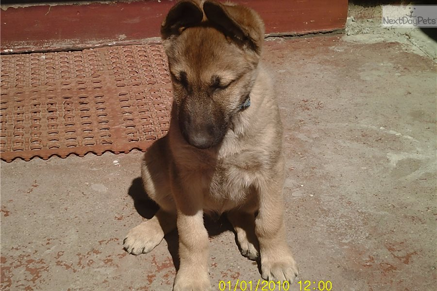 German shepherd puppies for sale in Colorado, from Gunbil Kennels located  Larkspur, CO . Our Colorado bred German shepherd puppies have highest  quality, ...