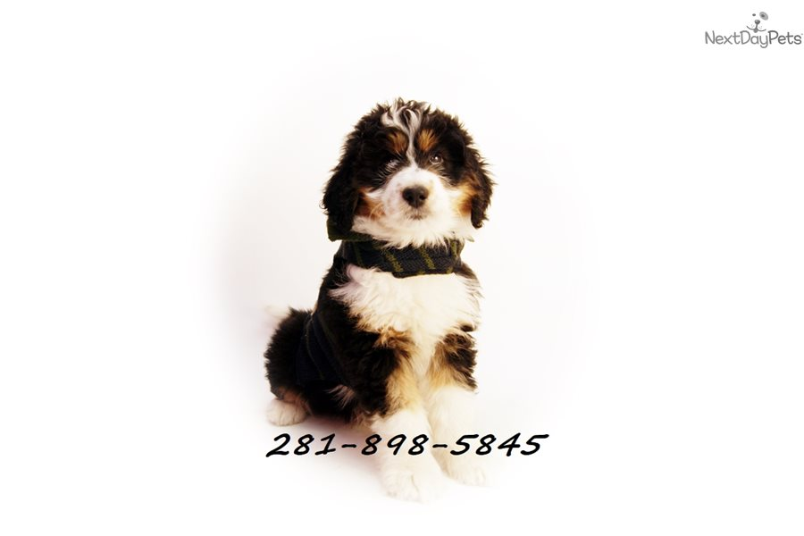Beast Bernese Mountain Dog Puppy For Sale Near Houston