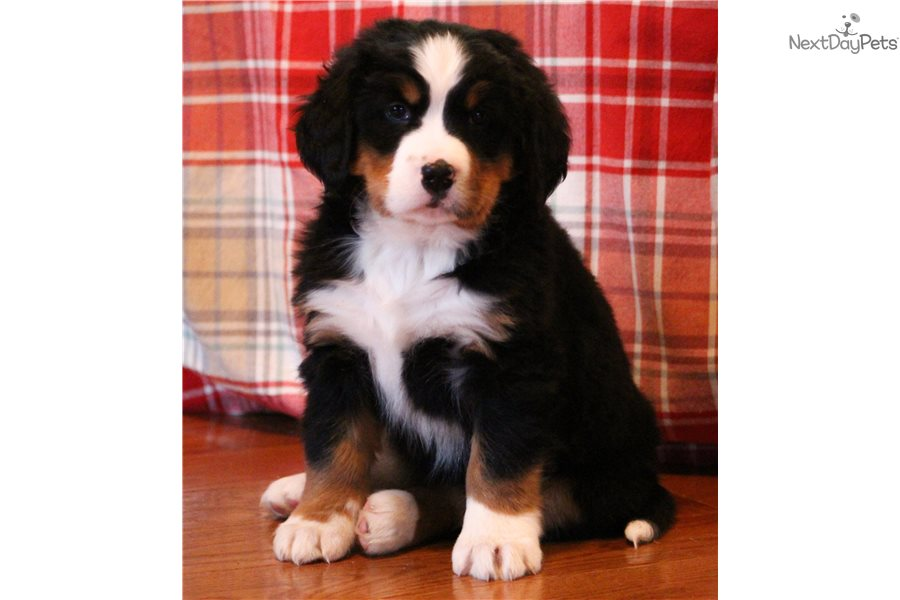 Britt Bernese Mountain Dog Puppy For Sale Near Central