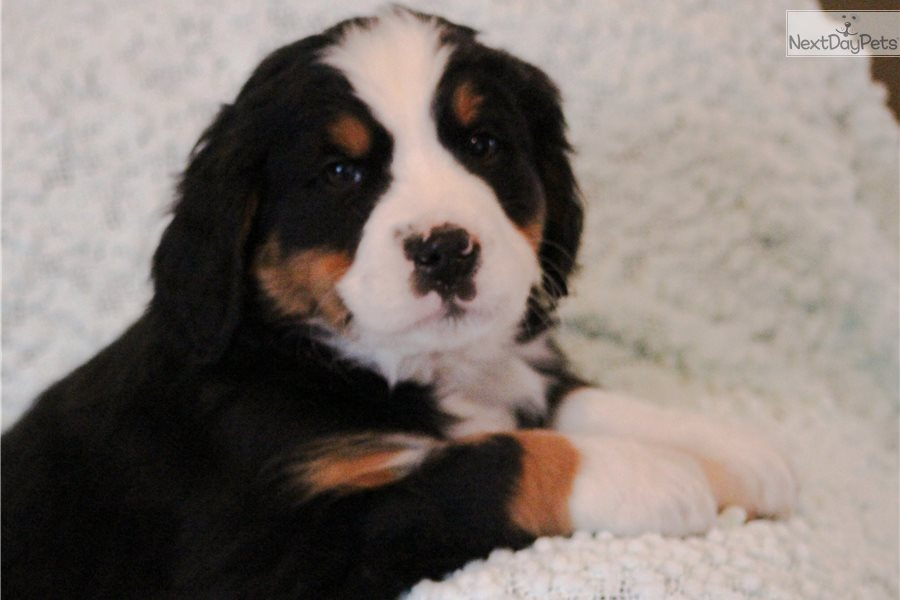 Bernese Mountain Dog Puppy For Sale Near Central Michigan