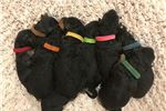 Picture of Lil Airedales - Male Pup