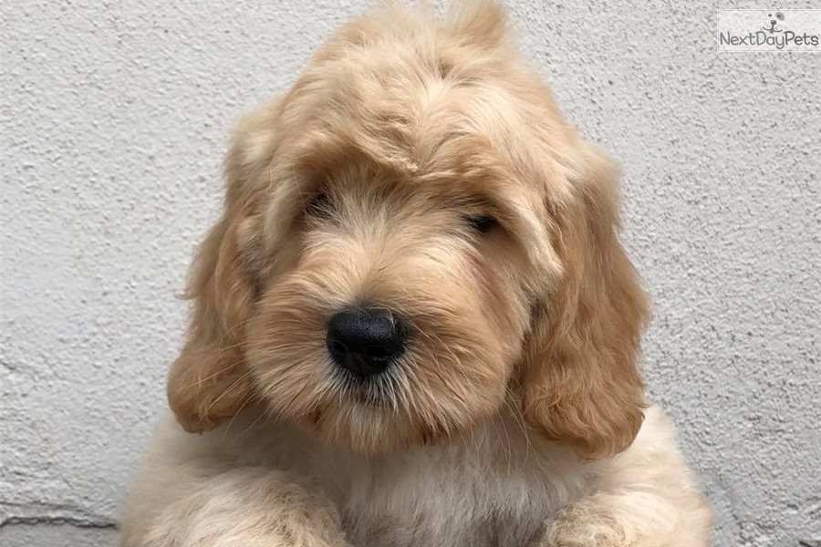 Labradoodle Puppy For Sale Near Tampa Bay Area Florida 14a2b805 5131