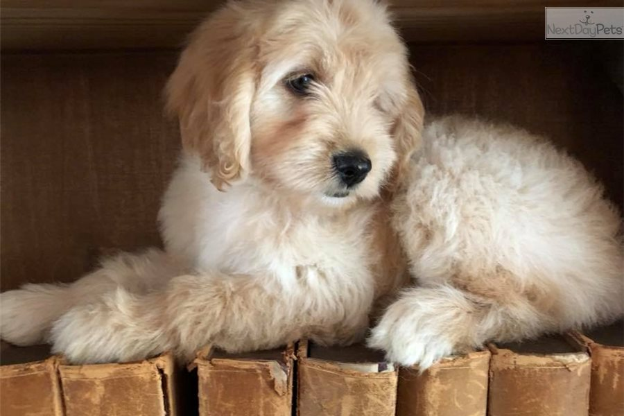 Pink Labradoodle Puppy For Sale Near Tampa Bay Area Florida