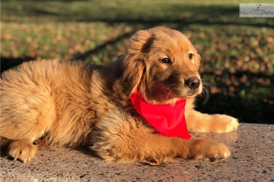 Rex: Golden Retriever puppy for sale near Lakeland, Florida