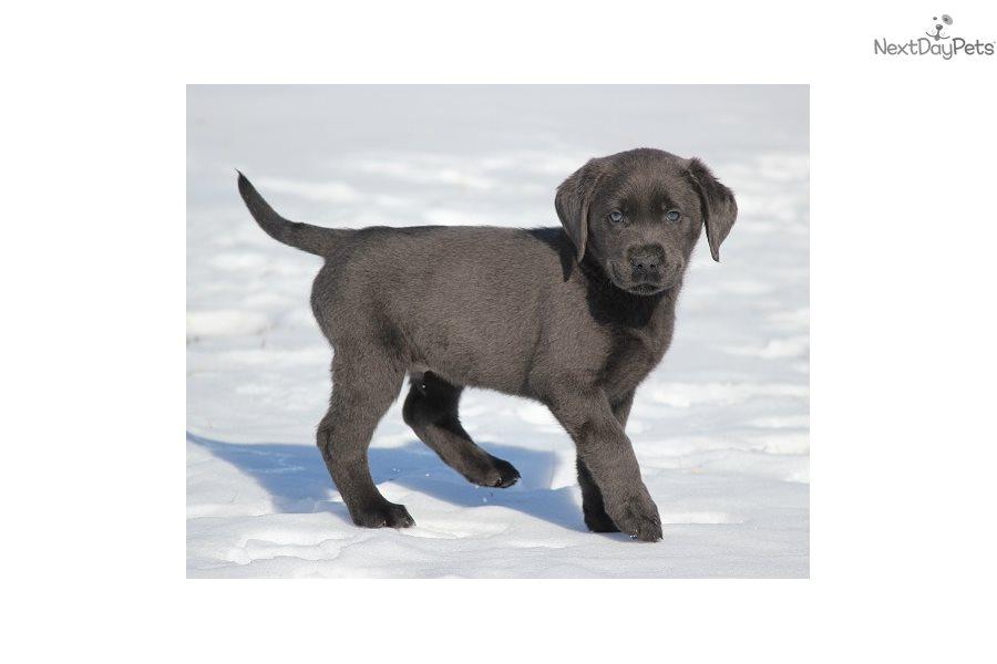 Labrador Retriever puppy for sale near Des Moines, Iowa