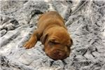 Rhodesian Ridgeback Puppies for Sale from St Cloud