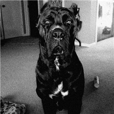 View full profile for Master Mansion Cane Corso