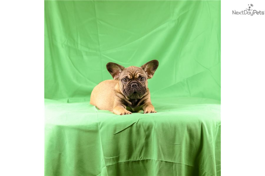 Tom: French Bulldog puppy for sale near Boston