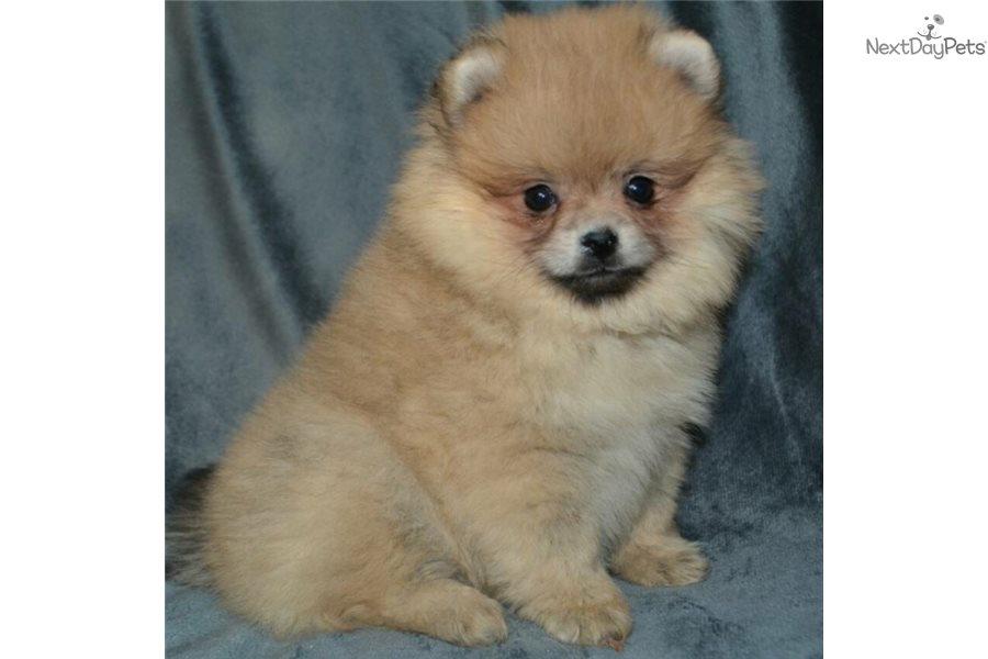 Juliet: Pomeranian puppy for sale near Boston, Massachusetts