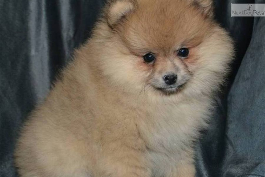 pomeranian groomer near me juliet pomeranian puppy for sale near boston 1659
