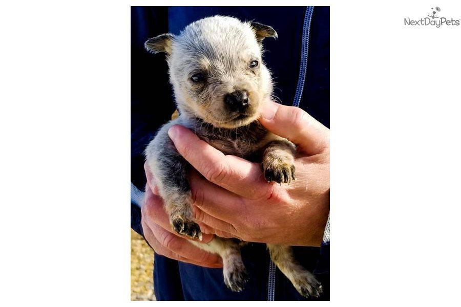 Australian Cattle Dog For Sale In Alabama