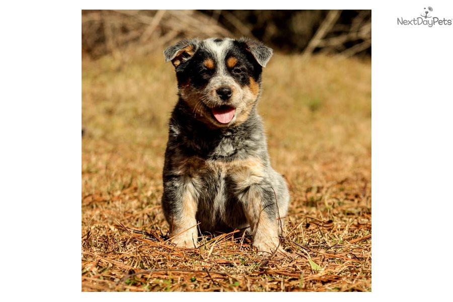 Muffin: Australian Cattle Dog/Blue Heeler puppy for sale