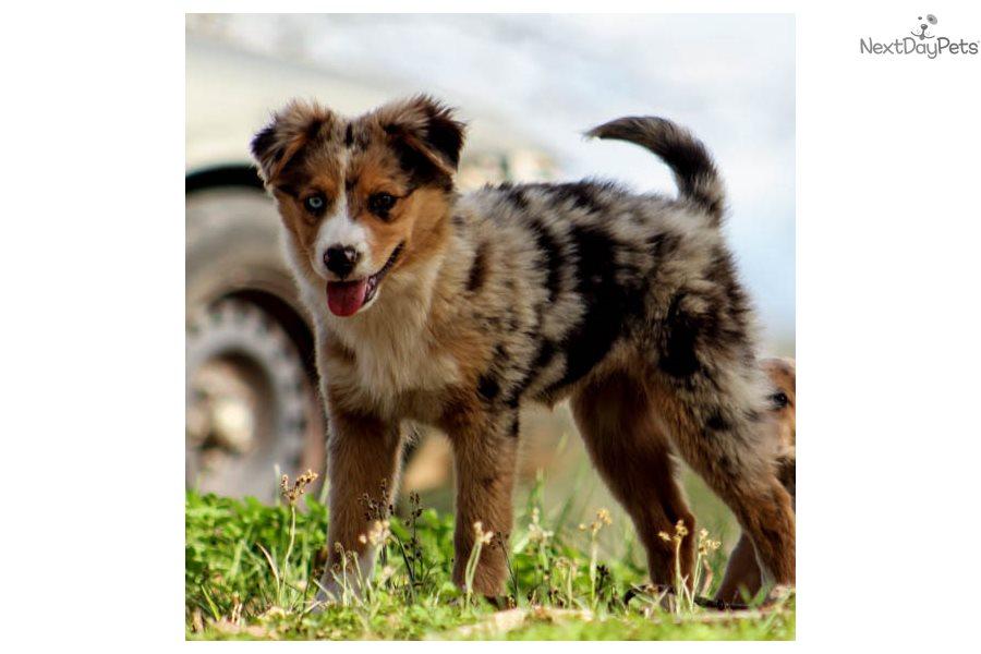 Zara Australian Shepherd Puppy For Sale Near Birmingham