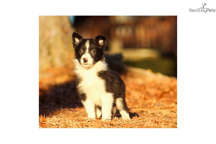 Britt Border Collie Puppy For Sale Near Birmingham Alabama 60567515 4861