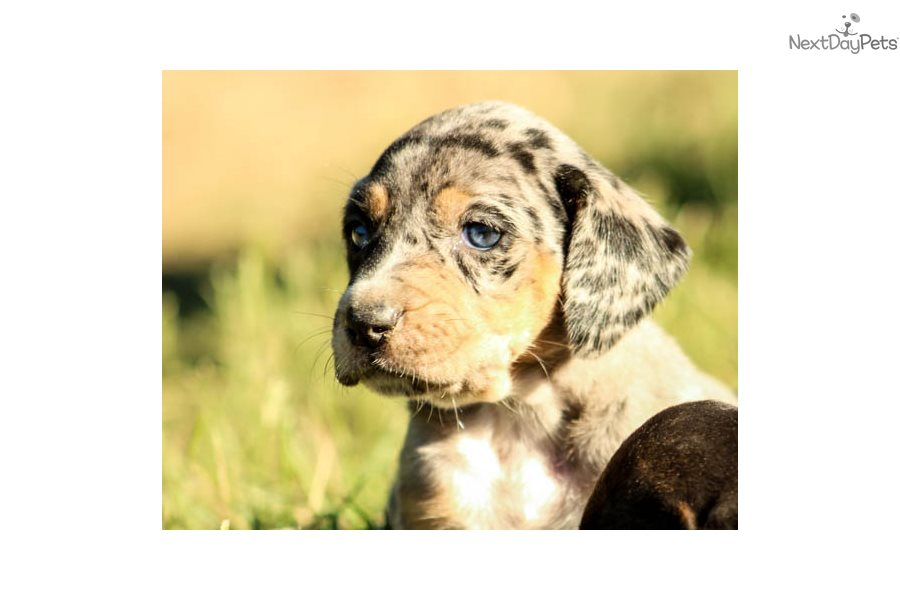 Jodi: Catahoula Leopard Dog puppy for sale near Birmingham