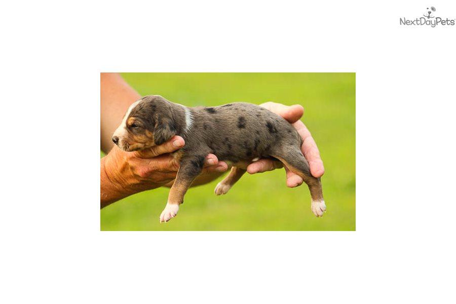 Tbd: Catahoula Leopard Dog puppy for sale near Birmingham