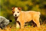 Picture of an Australian Cattle Dog/Blue Heeler Puppy