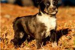 Picture of Texas Heeler - Swirl