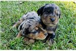 Picture of New Litter of Catahoulas