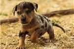 Picture of Catahoula Male