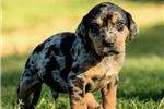 Picture of Say hello to Jaxx, the flashy leopard Catahoula