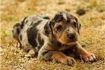 Picture of Catahoula Female