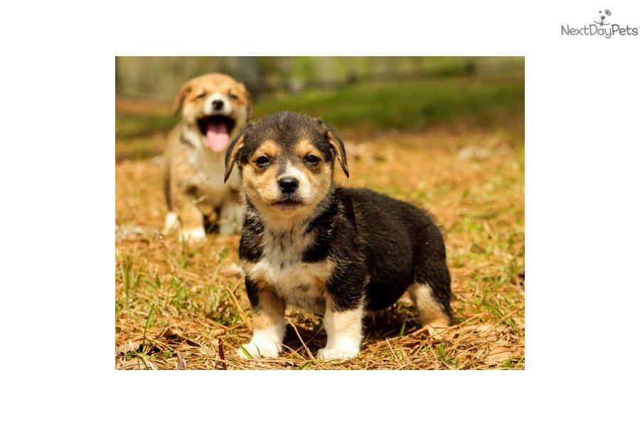 Pokey: Welsh Corgi, Pembroke puppy for sale near ...