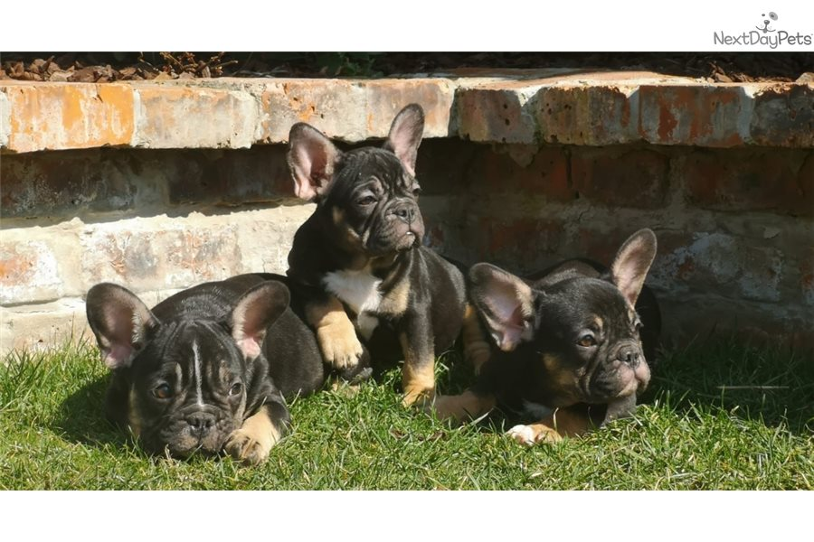 Bonie French Bulldog Puppy For Sale Near Vienna Austria