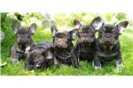 Picture of FRENCH BULLDOG  JUMP- male