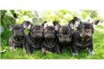 Picture of FRENCH BULLDOG -JUICY- male