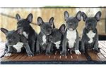 Picture of Beautiful French Bulldog Puppy - AILYN