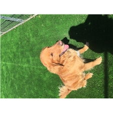 View full profile for Bailey's Goldens