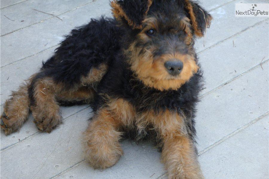 Airedale Terrier Puppy For Sale Near Augusta Georgia C296cb04 9951