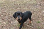 Picture of Wooster - Champion European Bloodlines Doberman