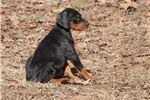 Picture of Wooster - Champion Bloodlines Doberman