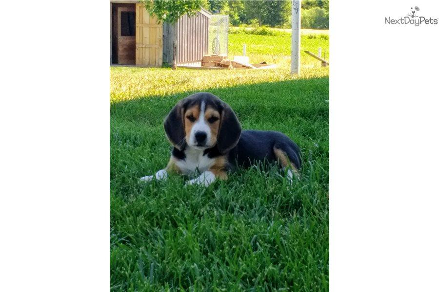 Bear Beagle Puppy For Sale Near Holland Michigan 8b5f05cf E801