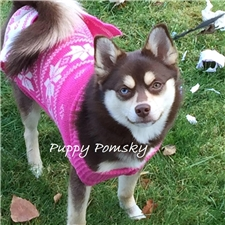 View full profile for Pomsky Puppies