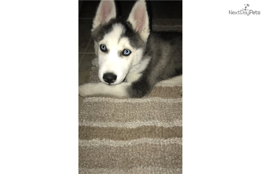 Image Result For Siberian Husky Breeders In Texas