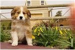 Picture of Lena - Great Bernese