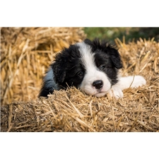 View full profile for Tasgal Border Collies