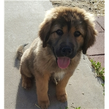 View full profile for Valor Tibetan Mastiff