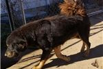 Picture of AKC Tibetan Mastiff Puppies