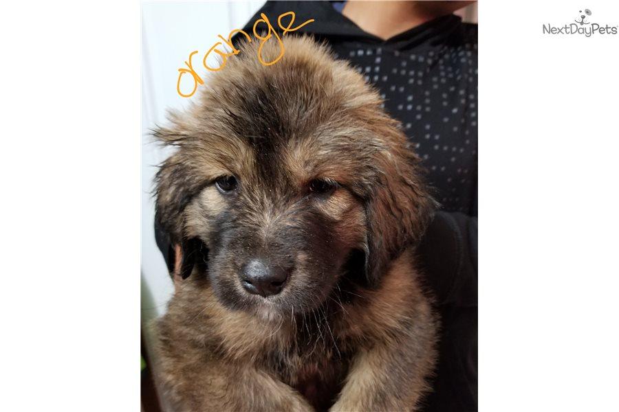 Tibetan Mastiff puppy for sale near Denver, Colorado