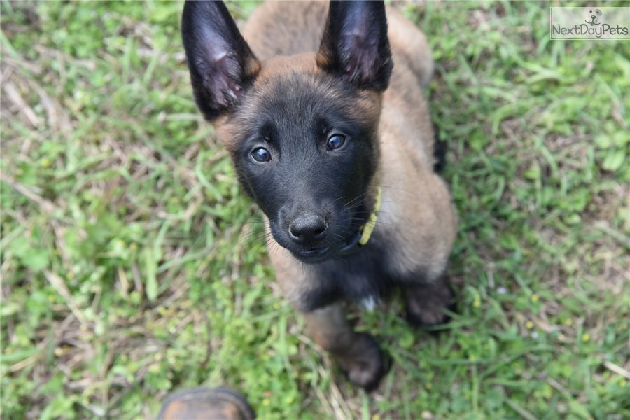 Buy Belgian Malinois Puppy For Sale In Northern Territory Australia