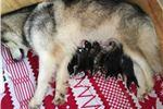 Picture of 9 AKC Alaskan Malamutes DOB 2/25/18