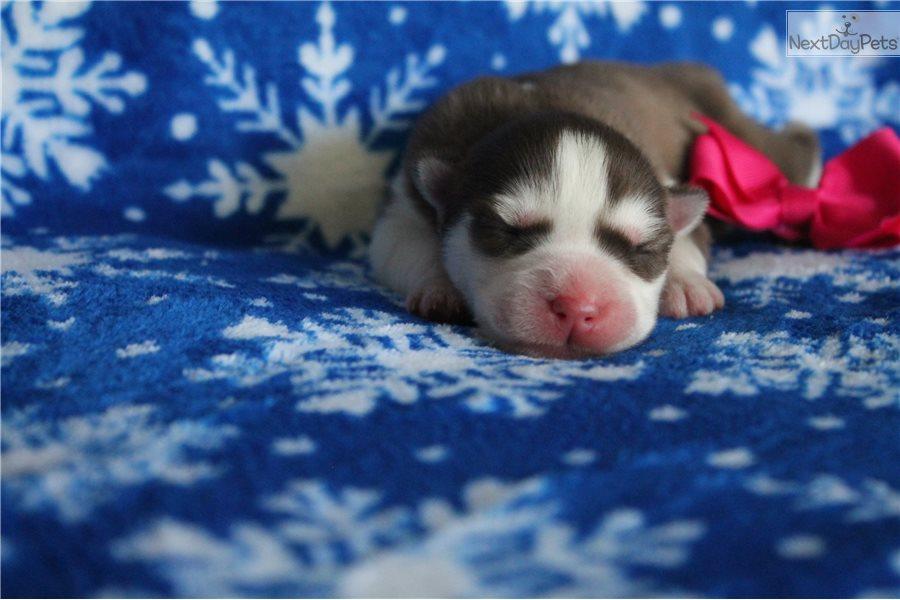 Siberian Husky puppy for sale near Louisville, Kentucky | d0f7f94b-d481