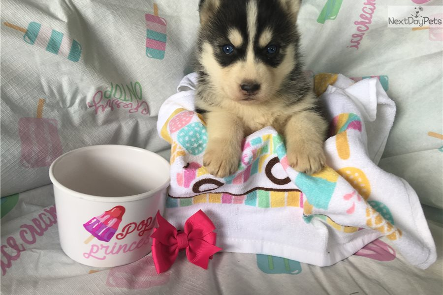 Siberian Husky puppy for sale near Louisville, Kentucky | 7d59e58d