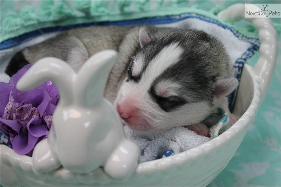 Siberian Husky puppy for sale near Louisville, Kentucky | 4f549d00