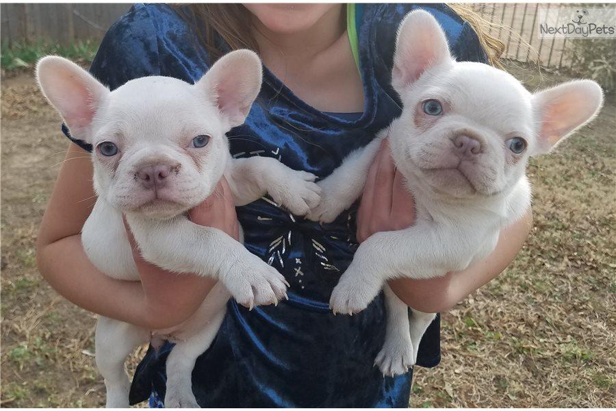 French Bulldog puppy for sale near Dallas / Fort Worth