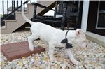 Picture of DOGO ARGENTINO LUCY